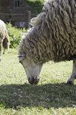 Sheep eating — Stock Photo