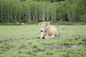 Bull on meadow — Stock Photo