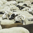 Stock Photo: Sheep in freedom