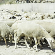 Stock Photo: Outdoor Sheep