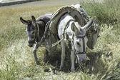 Domestic Donkeys — Stock Photo
