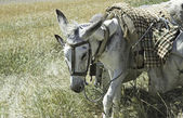 Donkeys walking — Stock Photo