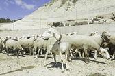 Sheep herd on hill — Stock Photo