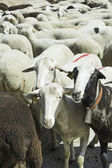 Sheep looking expression — Stock Photo