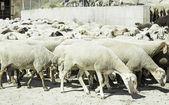 Outdoor Sheep — Stock Photo