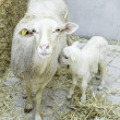 Stock Photo: Ewe with lamb