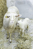 Ewe with lamb — Stock Photo
