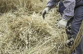 Farmer with wheat — Stock Photo