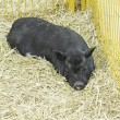 Stock Photo: Black pig