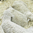 Stock Photo: Sheep in barn