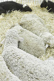 Sheep in barn — Stock Photo