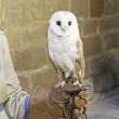 Stock Photo: Owl in falconry