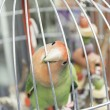 Stock Photo: Parrot in cage