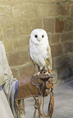 Owl in falconry — Stock Photo