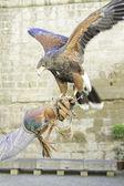 Eagle Falconry — Stock Photo