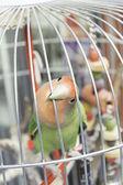 Pappagallo in gabbia — Foto Stock