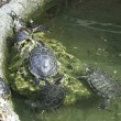 图库照片: Water Turtles