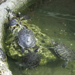 Foto de Stock  : Water Turtles