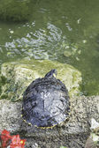Turtle in nature — Photo