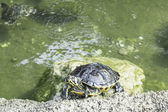 Tropisk sköldpadda — Stockfoto