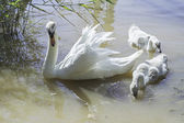 Swan with puppies — Stock Photo