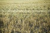 Field of straw — Stock Photo