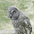 Owl with large plumage — Stock Photo