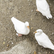 White Ducks — Stock Photo