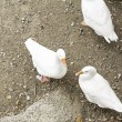 White Ducks — Stock fotografie