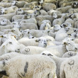 Stock Photo: Herd of sheep marked