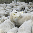 Stock Photo: Sheep Nature Group