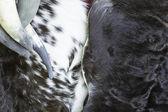 Koe huid — Stok fotoğraf