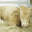 Cow lying in barn — Stockfoto