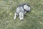 Shepherd dog — Foto Stock