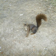 Stock Photo: Squirrel in park