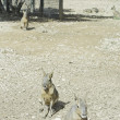 Stock Photo: Small kangaroos