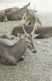 野生の鹿の群れ — ストック写真