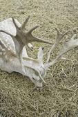 Antlered deer in zoo — Stock Photo