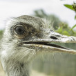 Ostrich head — Stock fotografie