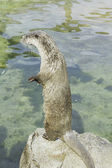 Otter standing attentive — Stock Photo