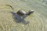 Otter swimming — Stock Photo