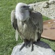 Stock Photo: Wild Vulture