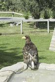 Eagle in soil — Foto Stock