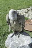 Wild Vulture — Stock Photo