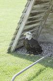 Black and white eagle — Stock Photo