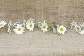 Decorative daisies — Stockfoto
