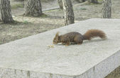 Squirrel on table — Stock Photo