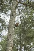 Eekhoorn klimmen — Stockfoto