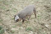 Pig in nature — Zdjęcie stockowe