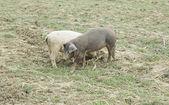 Herd of pigs — Стоковое фото